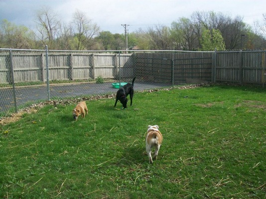 Three dogs playing in the outside area of the dog daycare